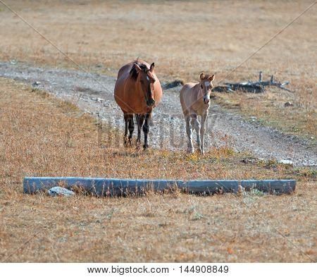 Wild Horse Dun Foal with Dun Mare Mother in the Pryor Mountains of Wyoming - Montana USA
