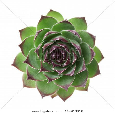 Closeup succulent sempervivum isolated on white background, other names is houseleeks liveforever and hen and chicks.