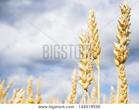 Close up image of common wheat in Finland