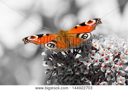 Color pop. European Peacock butterfly (Aglais io) feeding on Buddleia flower (also known as Butterfly bush orange eye and summer lilac)