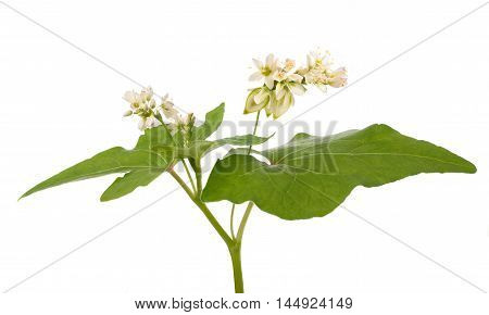 Buckwheat plant with flowers isolated on white background poster
