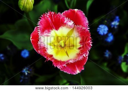 Blossom of a beautiful red-yellow tulip in front of a green background