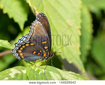 Ventral view of a Red Spotted Purple Admiral butterfly resting on a Painted Nettle leaf
