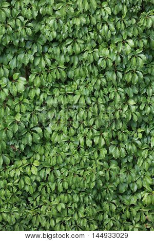 Ivy is a species of evergreen vines. It occurs in forests, ivy is grown as a potted plant, ground cover, park. In cultivation it is not requiring, and its values raises the multiplicity of cultivars of various shapes and colors of leaves