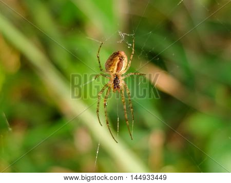 Spider weaves a web. Spider catches on the nature of the victims in the network. Insect arthropod predator.