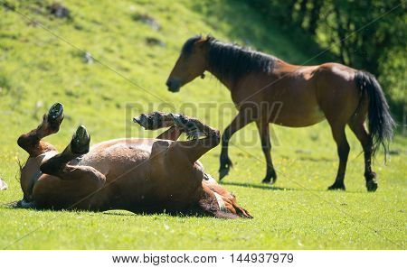 horse stallon laying on his back in a paddock