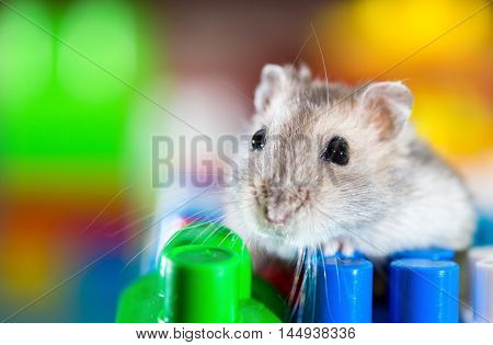 young dzungarian hamster in the toy cubs
