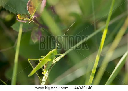Sickle-bearing Bush Cricket (Phaneroptera falcata) female climbing on a Grass-Stalk