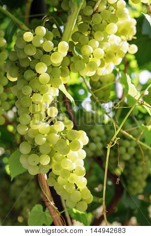 Bunch of green grapes on grapevine in vineyard. Shallow depth of field.