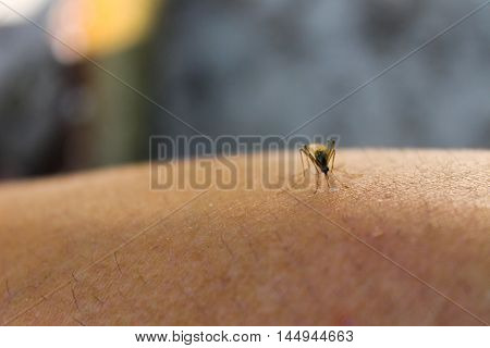 Mosquito (Culex pipiens) feeds on the blood of the human body