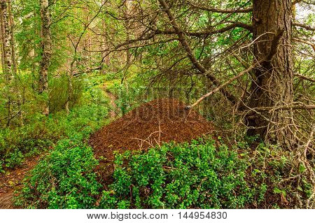Big anthill under a tree in the forest