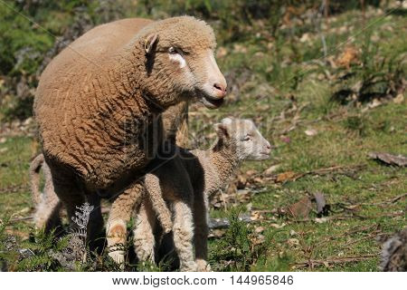 Mother and baby sheep on the Australian farm