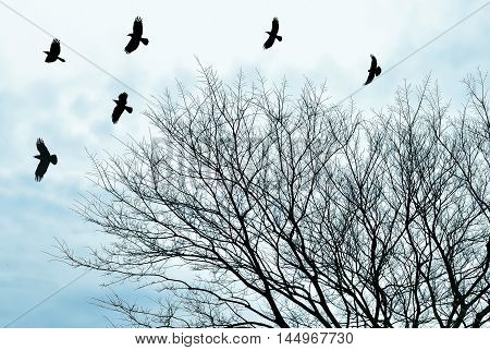 Raven birds and bare tree branches silhouette