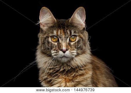 Closeup Portrait of Maine Coon Cat Head, Gaze Looking in Camera Isolated on Black Background