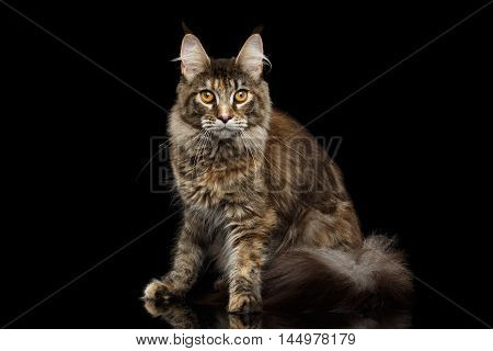 Tabby Maine Coon Cat Sitting with Furry Tail Isolated on Black Background, Front view