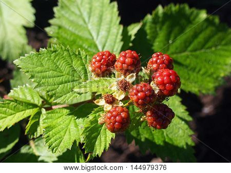 Bunch of the ripening blackberry on a natural background