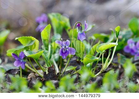 Closeup purple flowers (Scientific name: Viola odorata Sweet Violet English Violet Common Violet or Garden Violet) blooming in spring in wild meadow. Nature background.