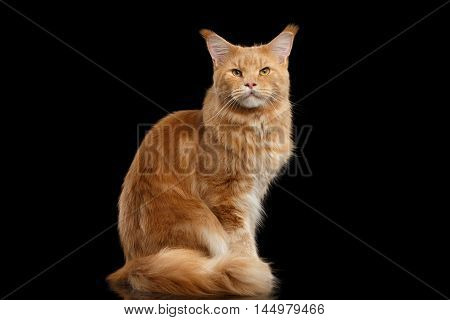 Tabby Ginger Maine Coon Cat Sitting with Furry Tail Isolated on Black Background