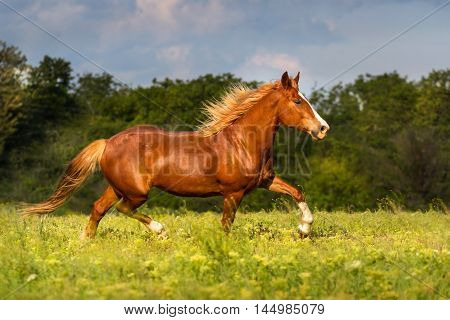 Red horse with long mane trotting in meadow