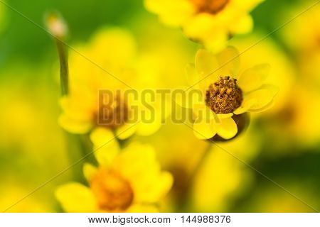 Yellow spring flowers macro close-up shallow deep of field