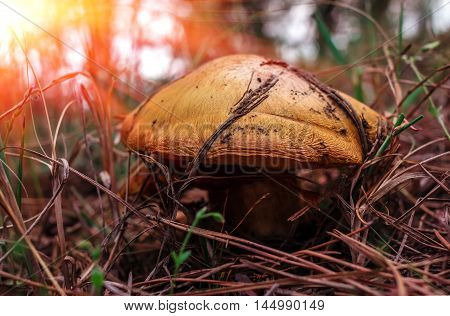 mushroom greasers under pine needles in a forest at sunset