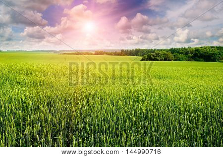 Field with ears of wheat cloudy sky and sunrise