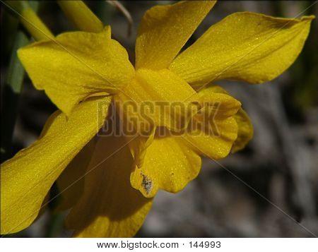 Top Of Daffodil
