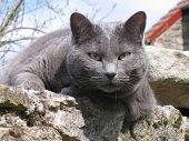 A blue cat looking at the camera and standing on an old stones wall. poster