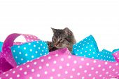 Cute gray tabby kitten with colorful ribbon on white background poster
