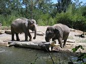 Elephants at the St. Louis zoo near some water. poster