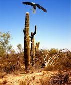 Illustrated bald eagle landing on desert saguaro cactus poster