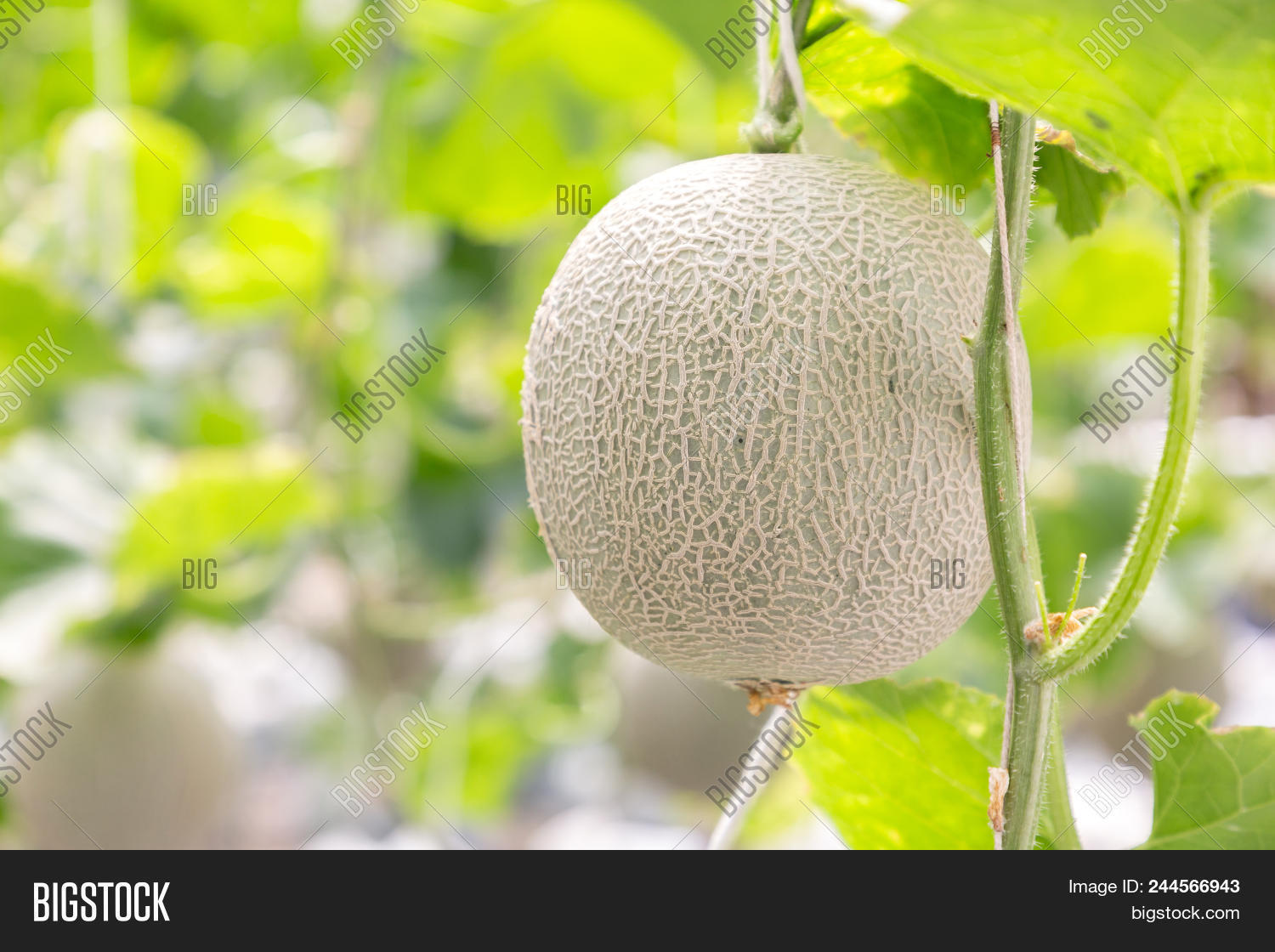 Green Melon Cantaloupe Image Photo Free Trial Bigstock Последние твиты от green cantelope (@leasmal7). green melon cantaloupe image photo
