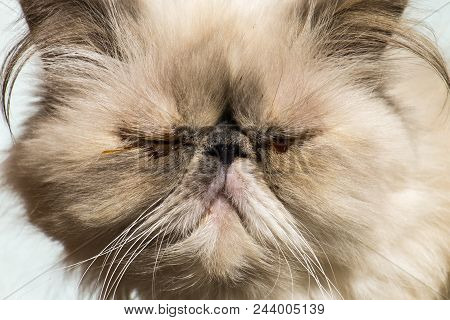 Persian Cat With Sore Eyes. Muzzle Of A Cat Close-up