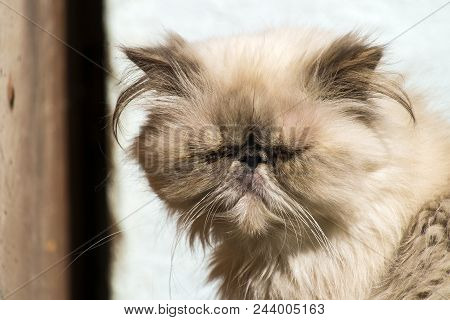 Cat With A Flat Face. Persian Cat With Sore Eyes