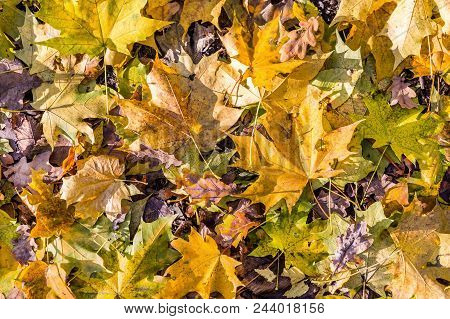 Autumn Background. Dry Orange Foliage In Flat Tones. Fallen Leaves In Forest Underfoot. Fall Dull To