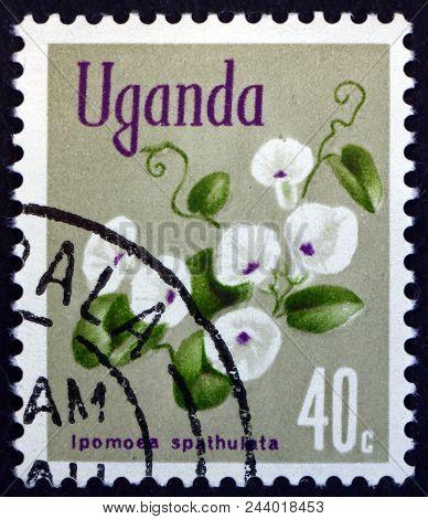 Uganda - Circa 1969: A Stamp Printed In Uganda Shows Morning Glory, Ipomoea Spathulata, Flowering Pl
