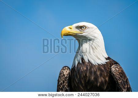 Portrait Of The Majestic American Bald Eagle Bird Of Prey