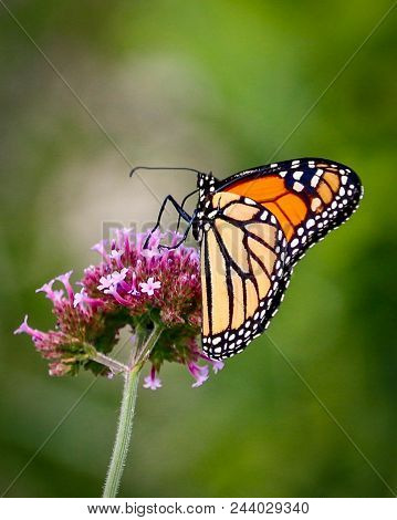 Beautiful Closeup Of A Orange And Yellow Monarch Butterfly Sitting On A Pink And White Flower With G