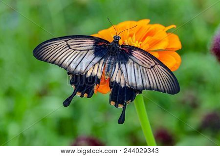 Beautiful Closeup Of A Black And White Kite Swallowtail Butterfly Sitting On A An Orange Flower With