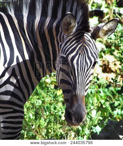 Curiosity: A Zebra Checks Me Out As I Point The Lens In His Direction, Florida