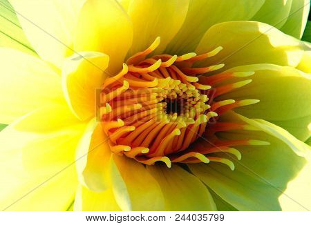 The World Inside: Macro Of The Inside Of A Yellow Water Lily, Florida