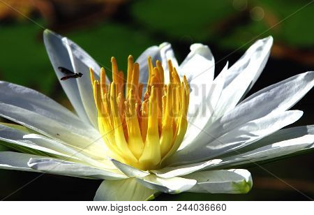 A Tasty Snack: A Bee Flying Into The Center Of A Yellow And White Water Lily, Florida