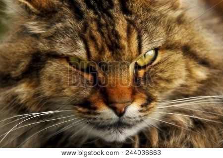 Maximus: Close-up Face Image Of Maine Coon Cat, France