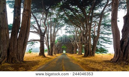 Tunnel Of Love: Road Between Tunnel Of Cypress Trees Leading To The Visitors Center At Point Reyes L