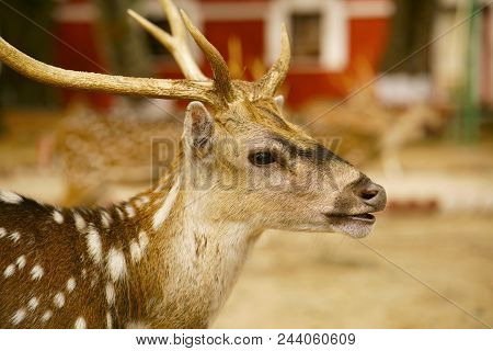 Close-up Of Indian Spotted Deer, Chital Or Cheetal Axis Axis At Ross Island, Andaman