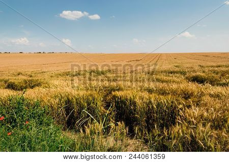 Wheat Field In Countryside. Summer Day In Countryside Fields. Golden Wheat Field. Ready To Harvest W