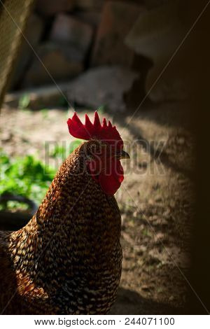 Rooster - Gallus Gallus Domestica.this Is The Male Of Gallus Gallus - Rooster.