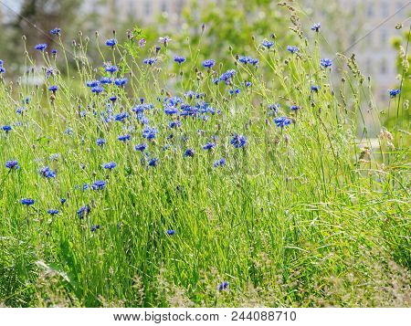 Natural Summer Background With Blooming Blue Centaurea Cyanus (cornflower Or Bachelor's Button). Rus