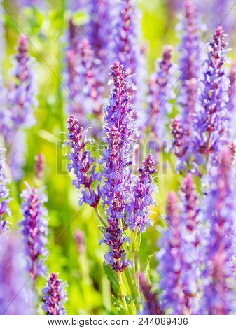 Natural summer background with blooming Woodland Sage (Balkan clary, Salvia nemorosa). Russia. poster