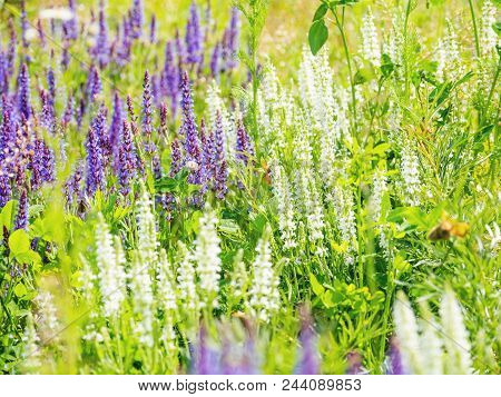 Natural Summer Background With Blooming Woodland Sage (balkan Clary, Salvia Nemorosa). Russia.